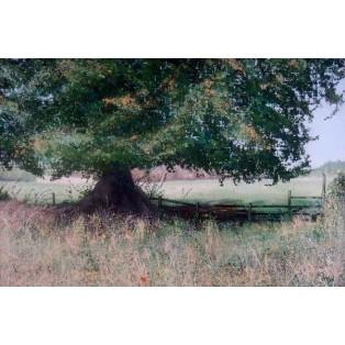 Beech Tree in Autumn Light